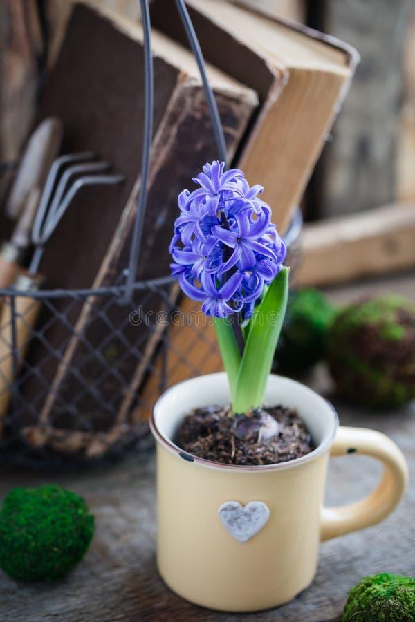 Jacinto azul o violeta de la primavera en la taza sobre los libros viejos con los instrumentos del jardín Concepto de la postal d imagen de archivo