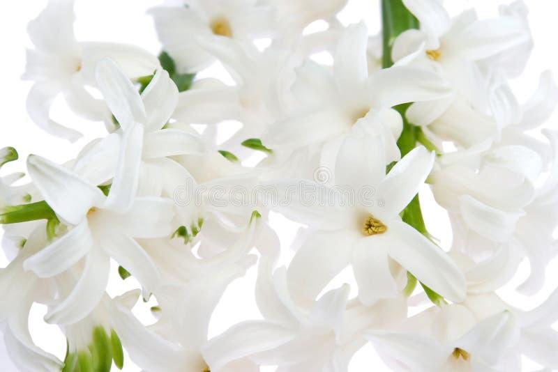 Jacinto blanco imagen de archivo libre de regalías