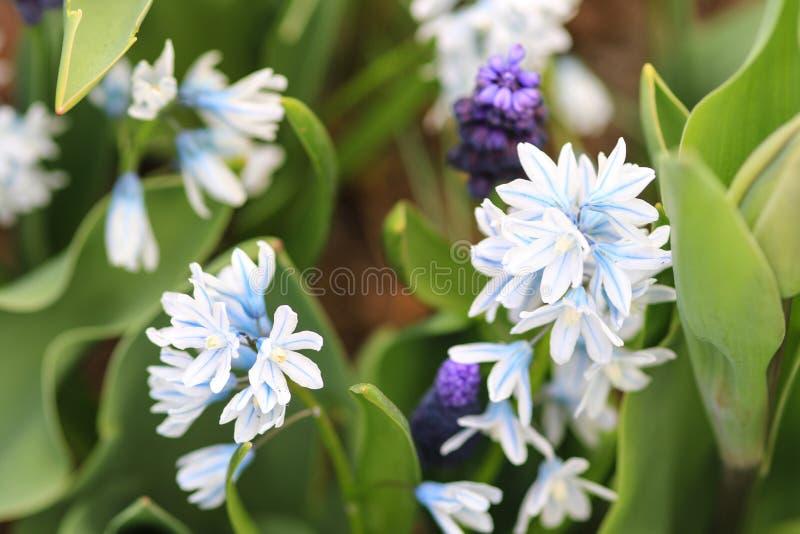Jacinto blanco azul y jacinto de uva azul foto de archivo