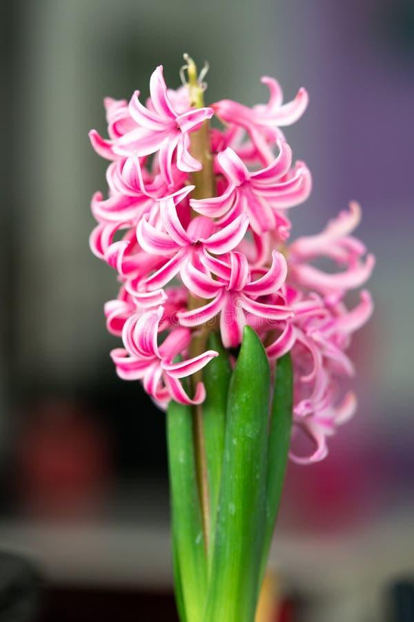 Jacinto branco cor-de-rosa foto de stock royalty free