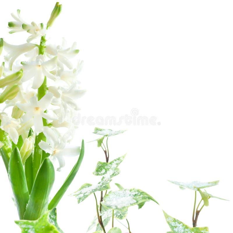Jacinto branco e hera cobertos com a neve de derretimento no backgr branco imagens de stock