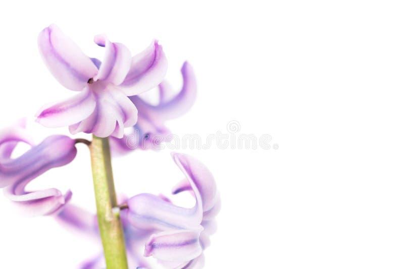 jacinto de la púrpura de la flor del resorte fotografía de archivo