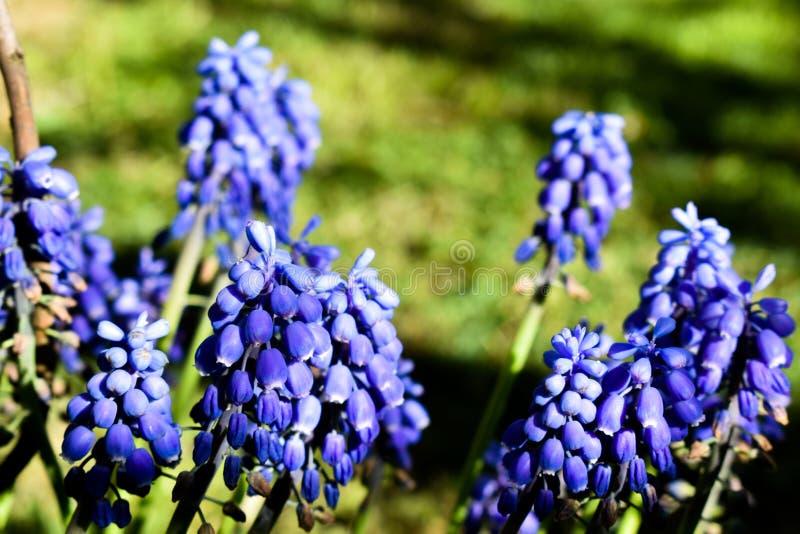 Jacinto de uva azul bonito - planta de Neglectum do Muscari imagem de stock royalty free