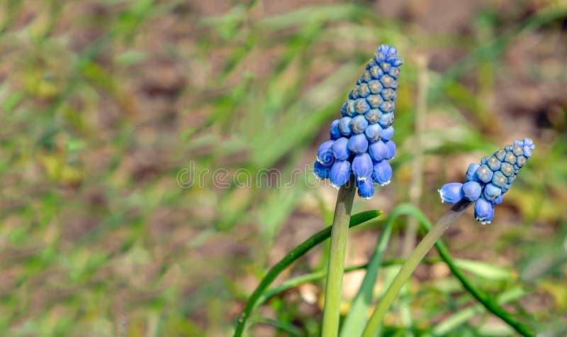 Jacinto de uva de brotamento e de florescência azul do fim imagem de stock