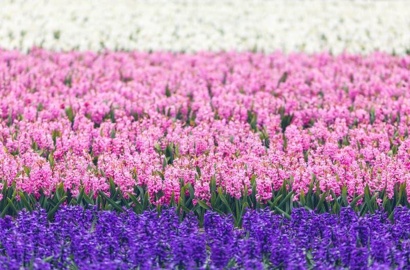 Jacinto El jacinto rosado, azul y blanco colorido hermoso florece en el jardín de la primavera, fondo floral colorido, campos de  fotografía de archivo libre de regalías