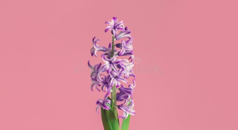 Jacinto, flor de la primavera en fondo rosado con el espacio de la copia para el mensaje Tarjeta de felicitación para el día de t foto de archivo
