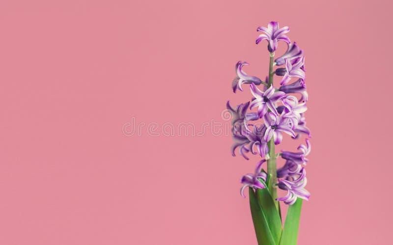 Jacinto, flor de la primavera en fondo rosado con el espacio de la copia para el mensaje Tarjeta de felicitación para el día de t imágenes de archivo libres de regalías