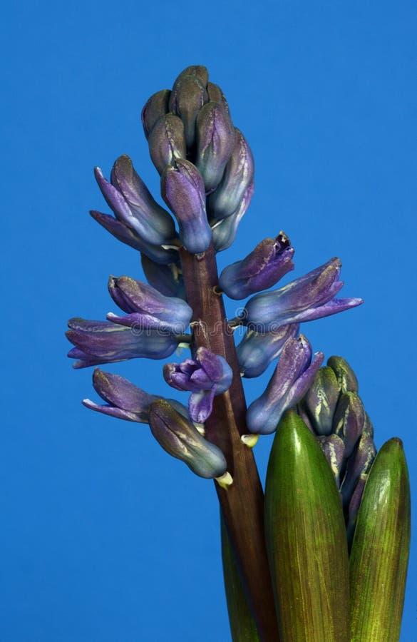 Jacinto violeta de la flor foto de archivo