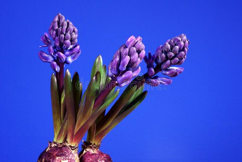 Jacinto violeta de la flor imagenes de archivo