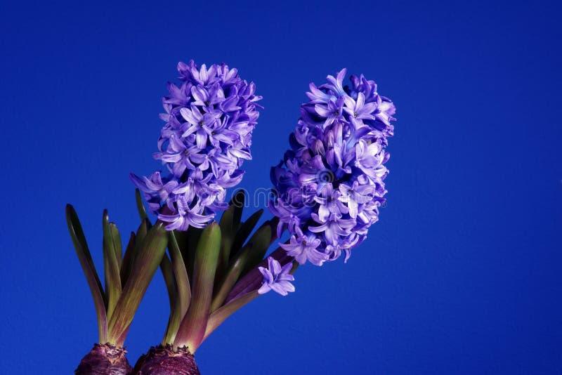 Jacinto violeta de la flor imagen de archivo