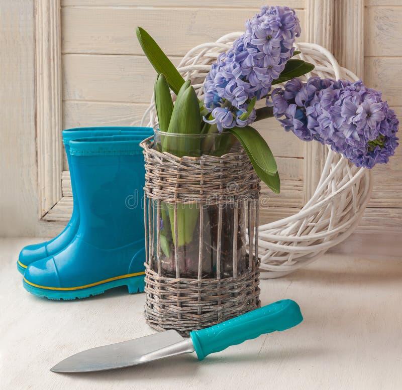 Jacintos azules con los bulbos y la pala fotografía de archivo libre de regalías