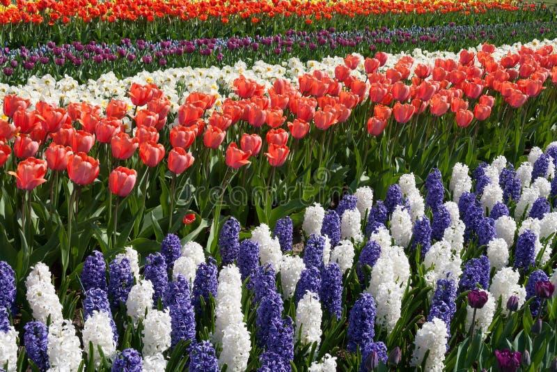 Jacintos brancos e roxos e tulipas vermelhas no Keukenhof imagem de stock