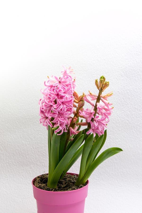 Jacintos cor-de-rosa fotografia de stock