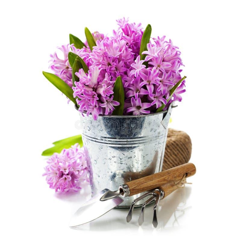 Jacintos e ferramentas de jardim bonitos imagem de stock