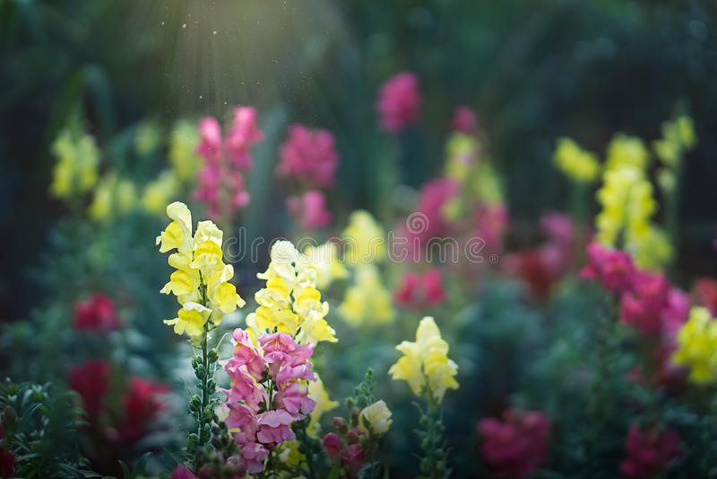 Jacintos em um jardim mágico fotografia de stock royalty free