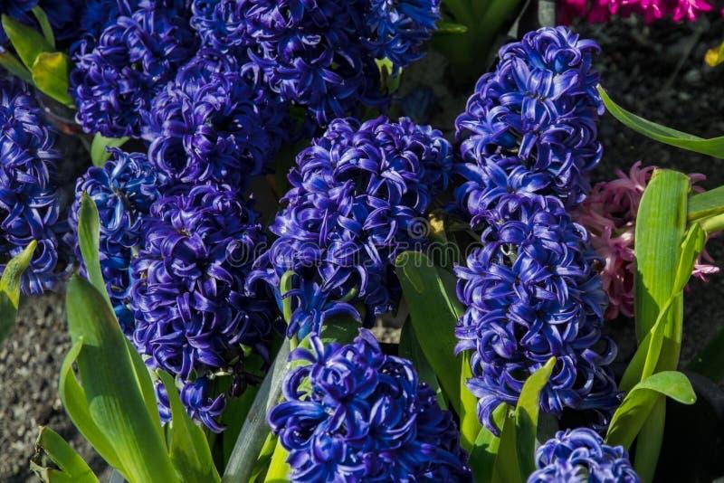 Jacintos en un jardín de flores fotografía de archivo libre de regalías