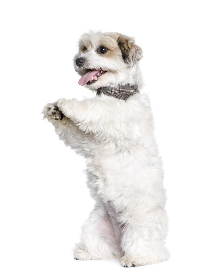 jack смешанный russel собаки breed bichon стоковое фото rf