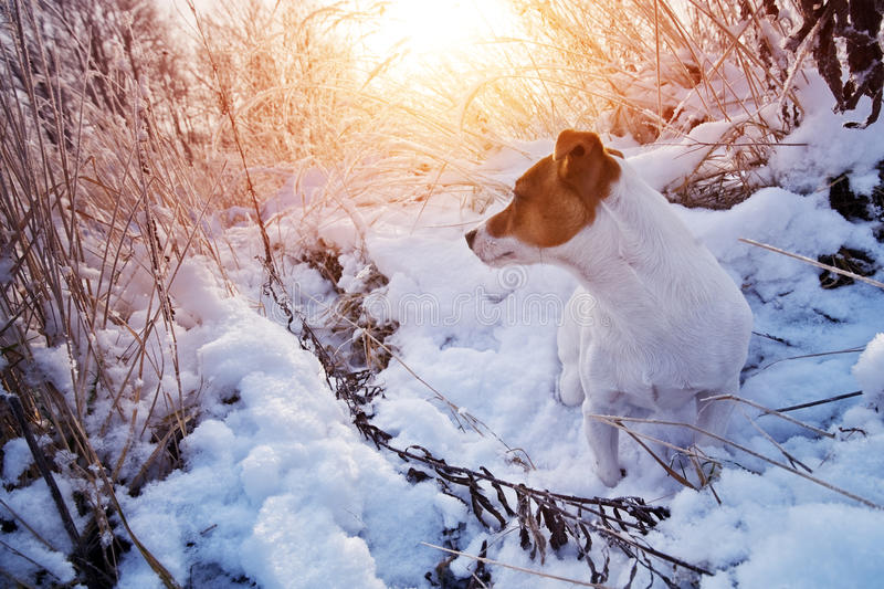Download Jack stock image. Image of purebred, winter, cute, jack - 28742215