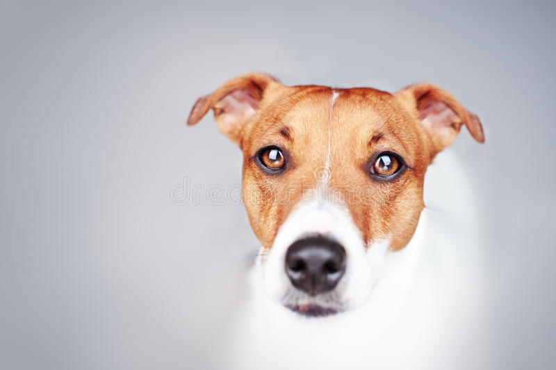 Download Jack stock image. Image of mammal, face, pets, studio - 29360993