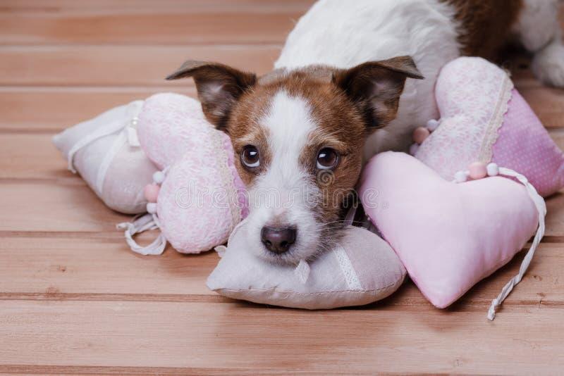 Jack bonito Russell Terrier Dia do `s do Valentim fotografia de stock royalty free