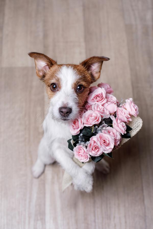 Jack bonito Russell Terrier Dia do `s do Valentim imagens de stock royalty free