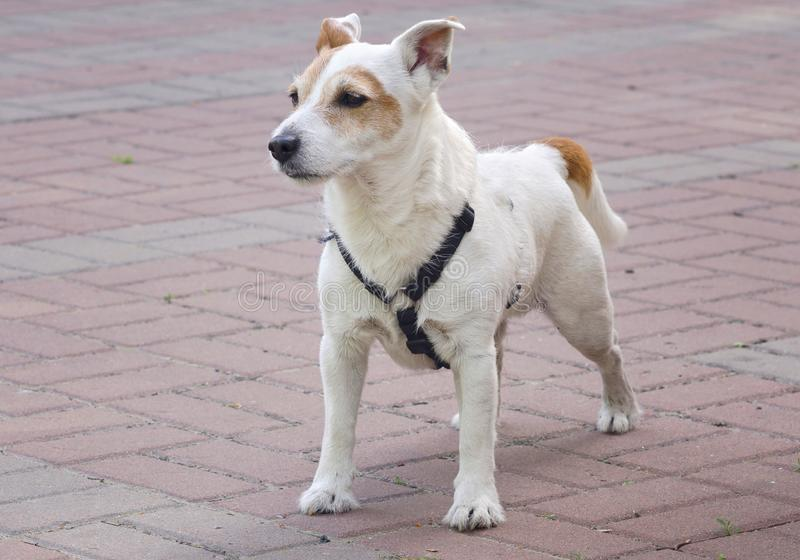 Jack Russell Terrier, costs in the open air, in the park stock photography