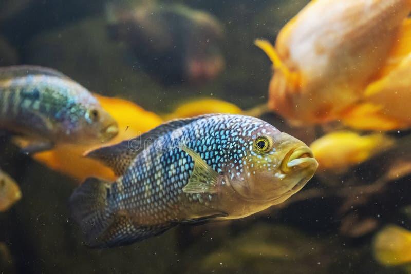 Jack Dempsey fish - Rocio octofasciata. Freshwater natural scene. Beauty in nature royalty free stock photo
