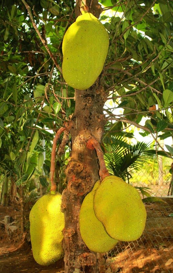 Jack-Früchte, die den Baum hängen lizenzfreie stockfotografie
