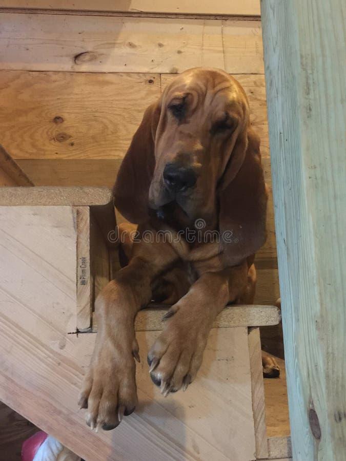 Jack Frost bloodhound fotografia stock