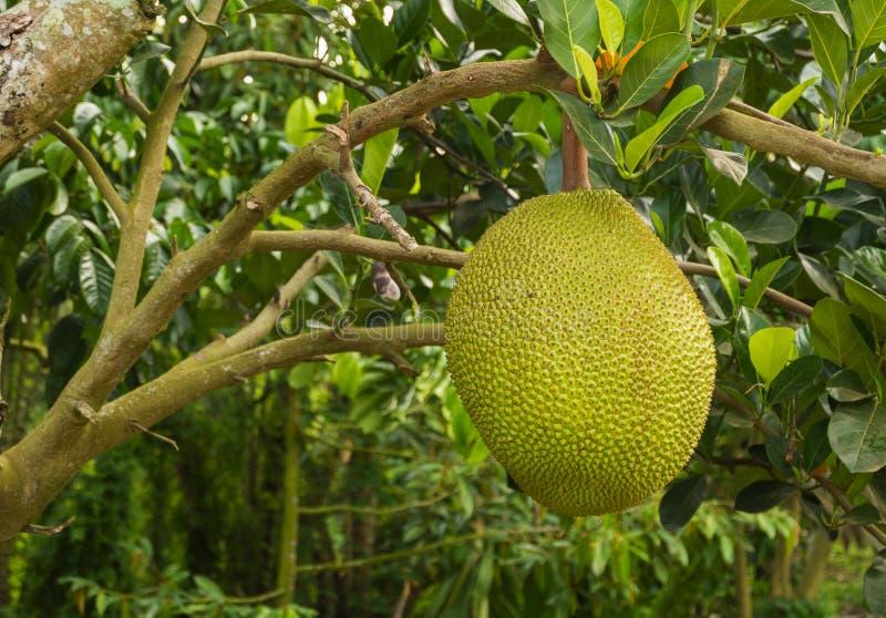 Jack-Frucht, die am Baum h?ngt lizenzfreies stockbild