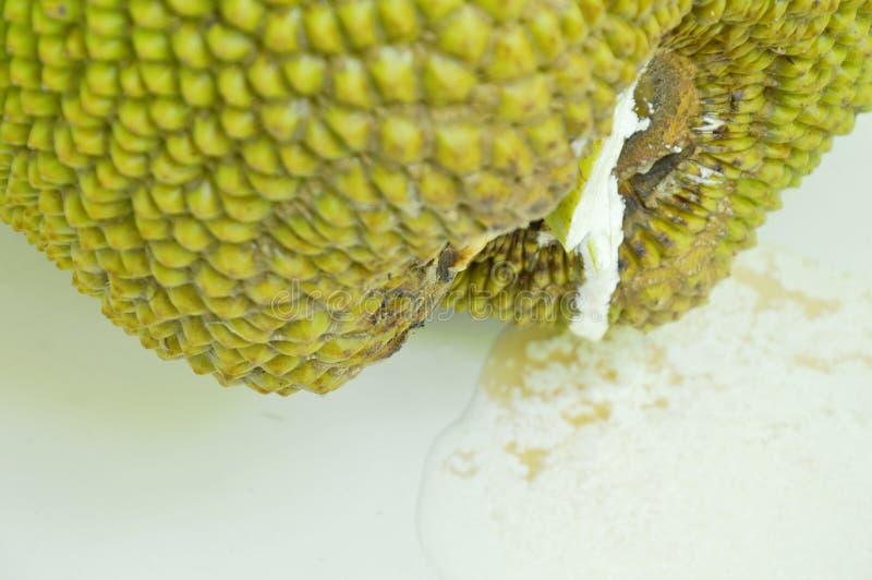 Jack-Fruchtrosine, die vom Kelch fällt auf Fliesenboden fließt stockbild