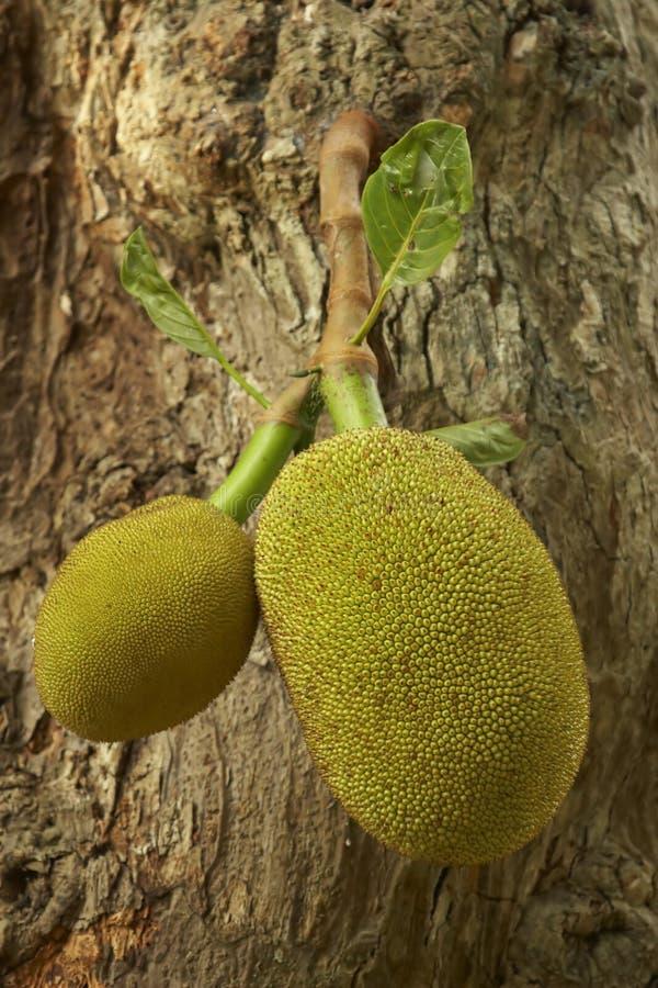 Download Jack Fruit (Artocarpus Heterophyllus) Stock Image - Image: 3814437