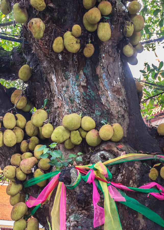 Jack fruit. Jackfruit is a large perennial. In the same family as 15-30 meters tall sake, trunk and branches when the wound is a white latex like milk flowing stock photo