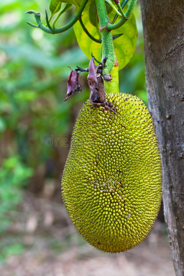 Download Jack fruit on the tree stock photo. Image of garden, indigenous - 24096768