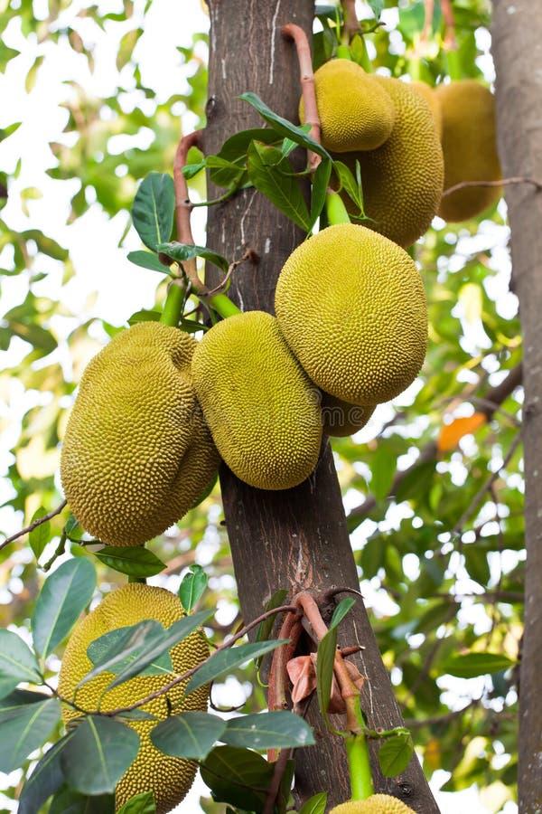 Jack fruit on the tree in garden
