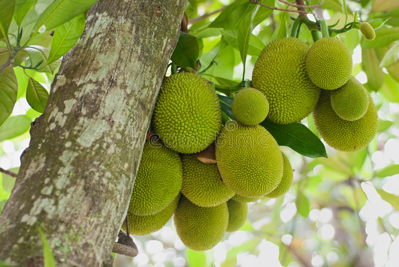 Download Jack Fruits stock image. Image of vitamins, asian, food - 20445171