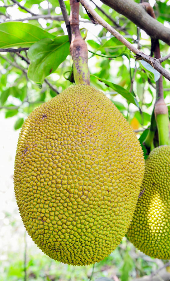 Download Jack Fruits Royalty Free Stock Photos - Image: 24429088