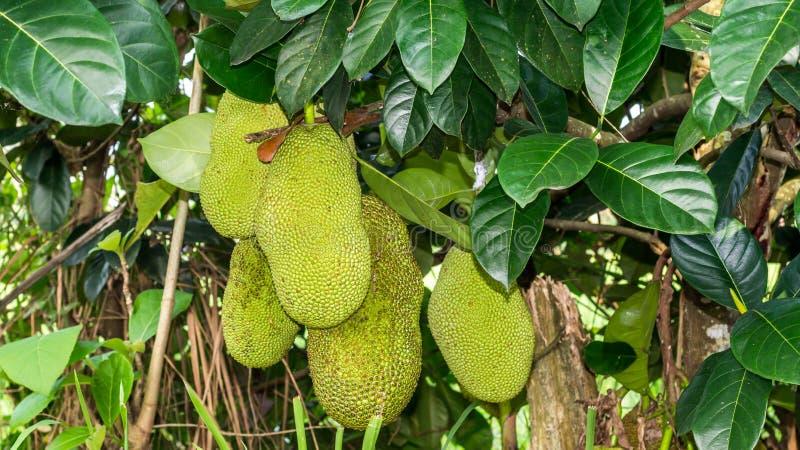 Jack fruits hanging on the tree royalty free stock image