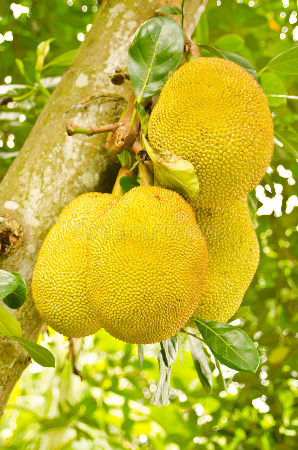 Download Jack Fruits On Tree In Garden Stock Photo - Image: 21478948