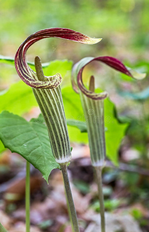 Free Jack In The Pulpit Stock Photo - 40617400