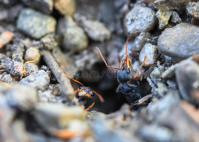 Jack Jumper Ants fotos de stock