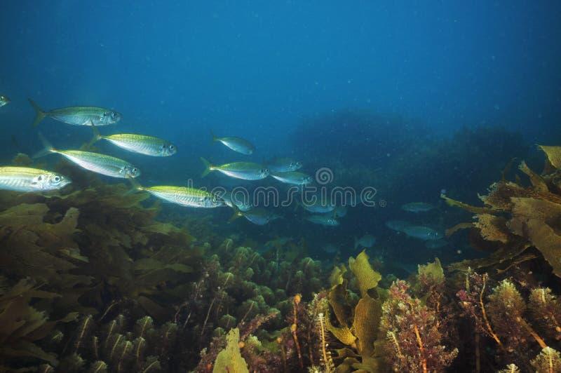 Jack makrelen onder overzees onkruid stock fotografie