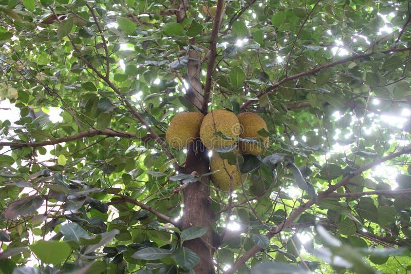 Jack-Obstbaum mit seinen Früchten stockbild