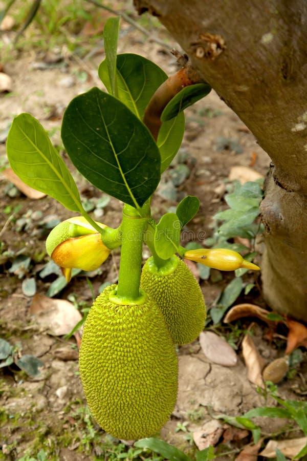 Jack owoc na drzewie obraz royalty free