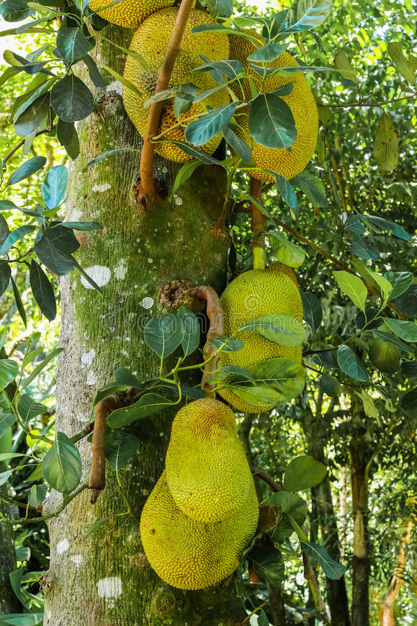Jack owoc na drzewie zdjęcie royalty free