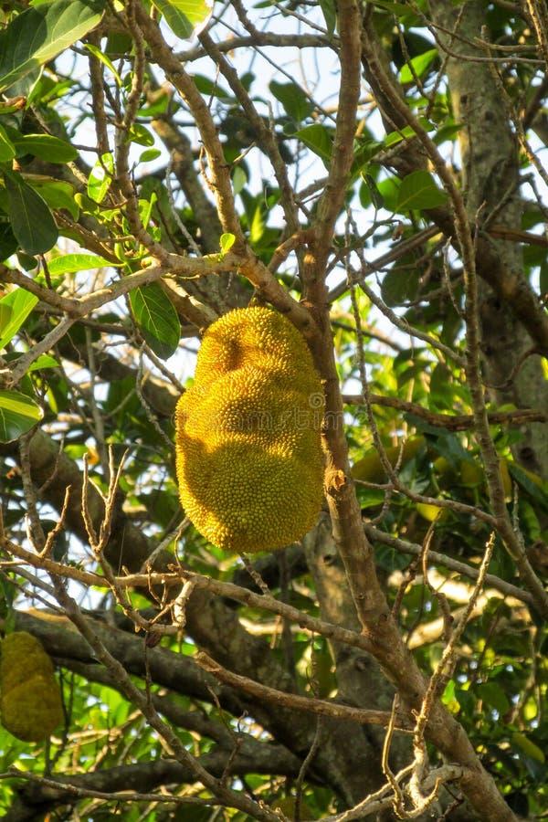 Jack owoc na drzewie fotografia stock