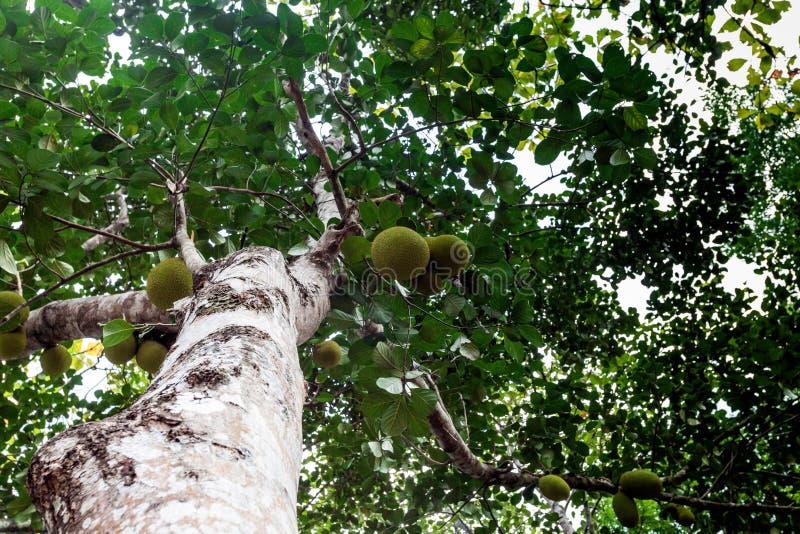 Jack owoc na drzewie w tropikalnej owoc uprawiają ogródek zdjęcia royalty free