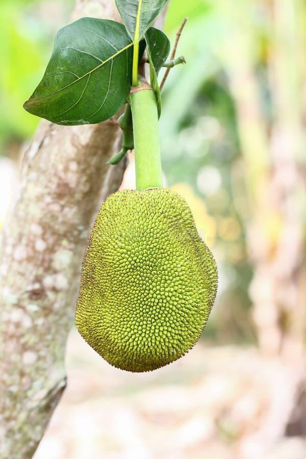 Jack owoc na Jack owocowym drzewie obraz stock