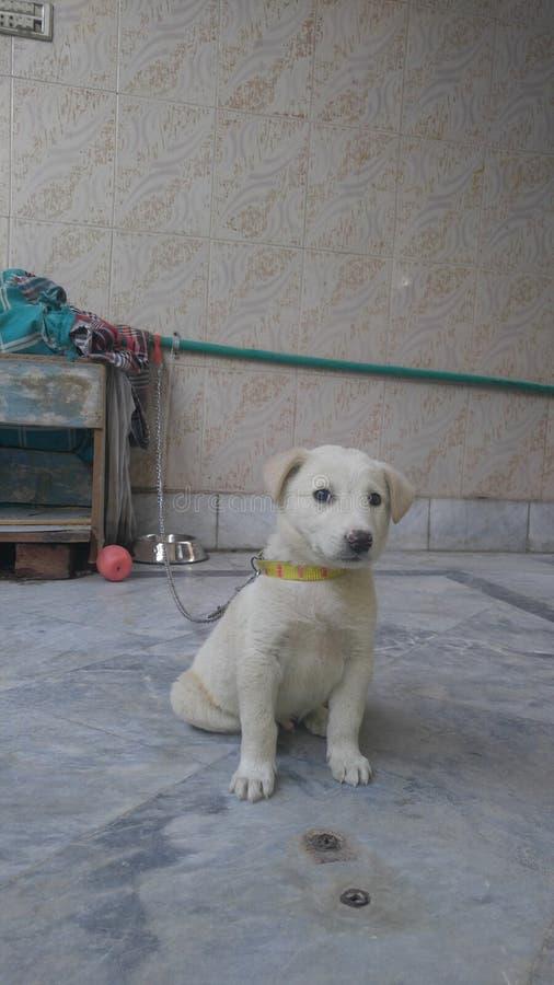 Jack psi szczeniak śliczny obrazy stock