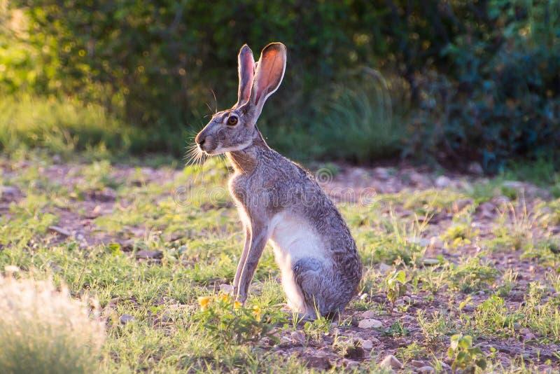 Jack Rabbit imagens de stock